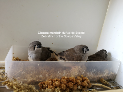 3 young grays from the nest
