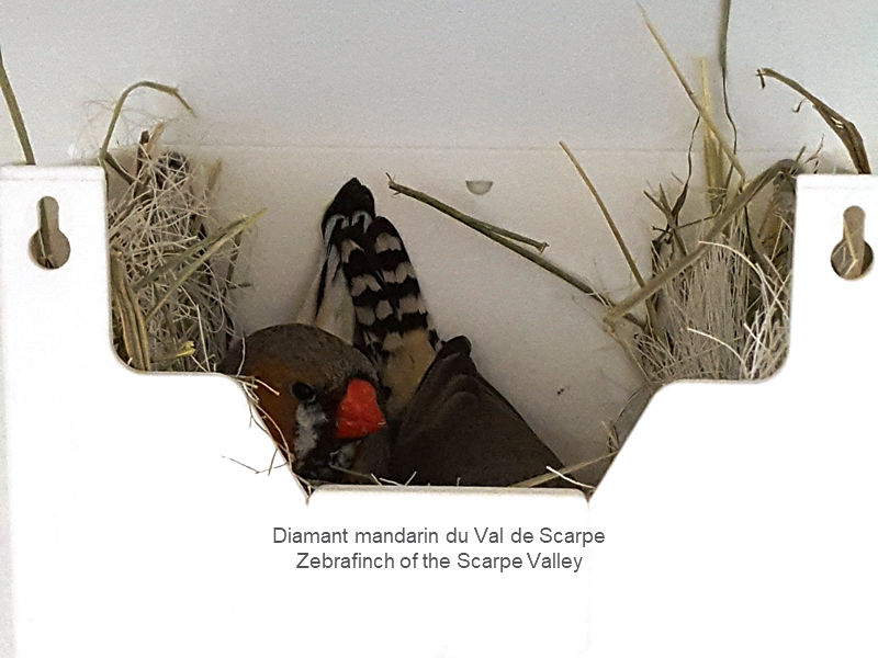 Zebrafinch couple at nest