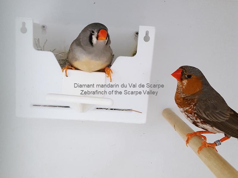Coppia di diamanti mandarini nel nido