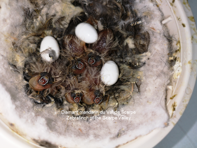 Brood of 5 young grays