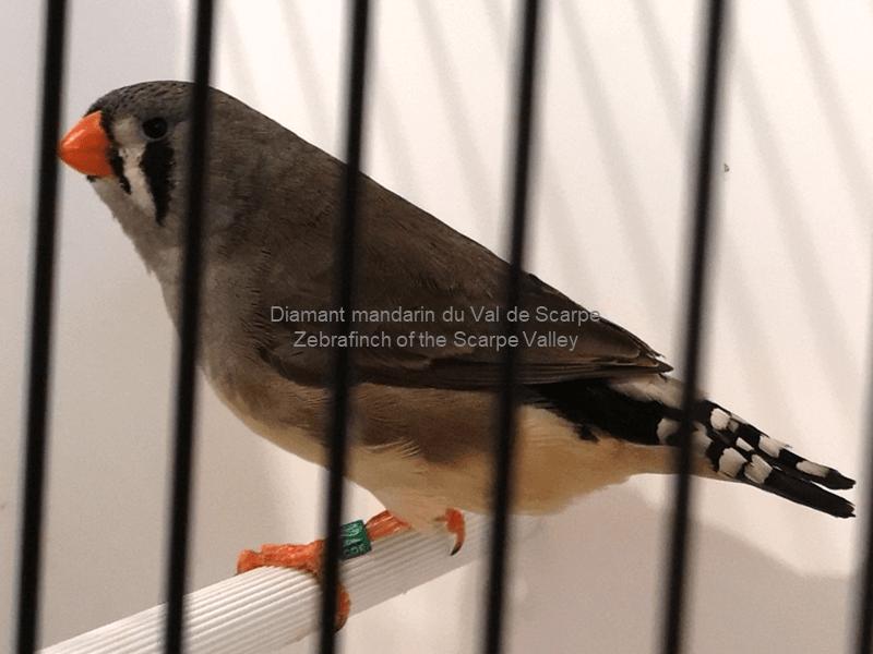 Grey female, born 2019