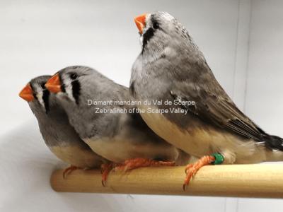 3 femelles grises, nées en 2019 - 20