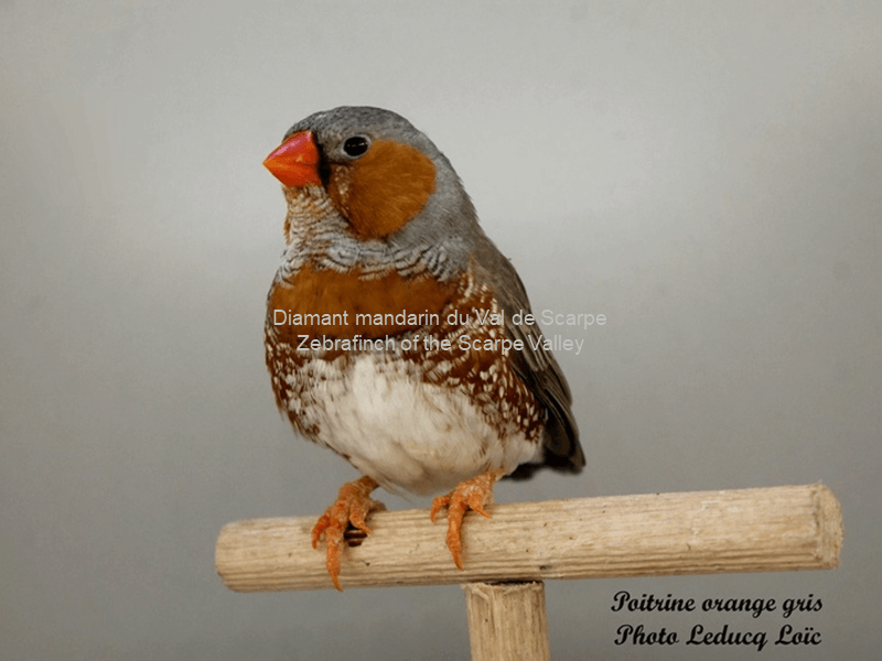 Maschio grigio petto arancione