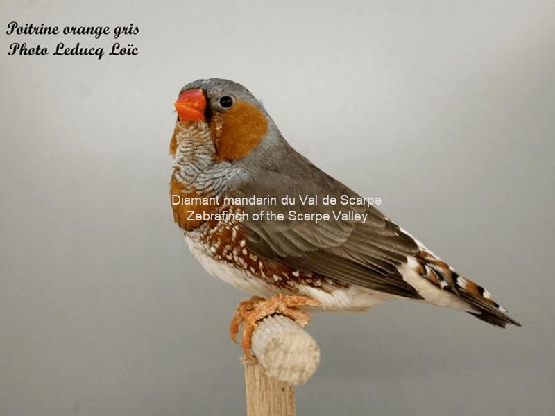 Mâle gris poitrine orange