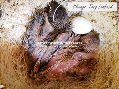 Young zebrafinch in the nest