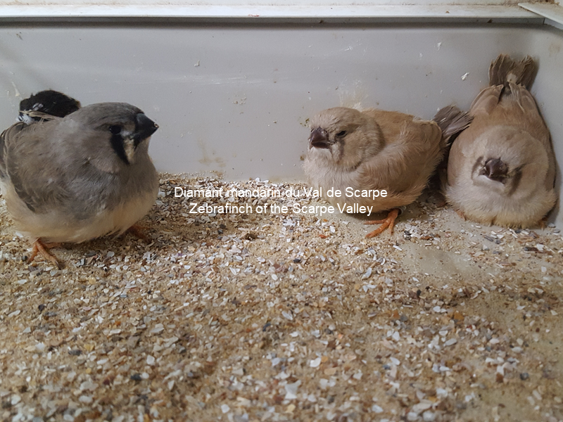 Young zebrafinches