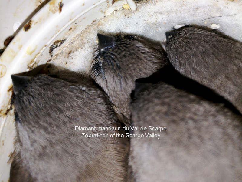 Young grays in nest
