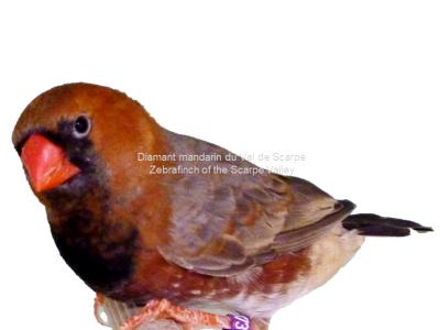 Maschio grigio nero fronte petto nero portante petto arancione