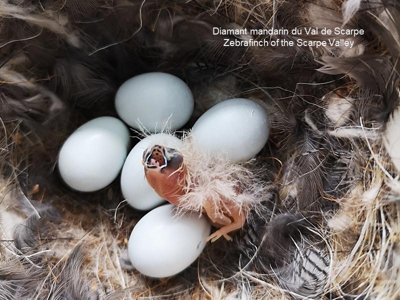 Oisillon au nid
