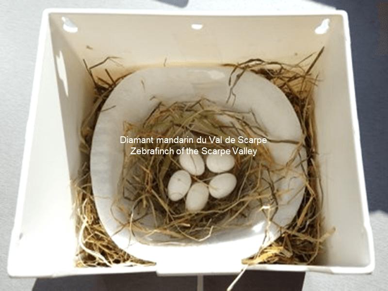 Comment garder les oeufs reunis dans le nid
