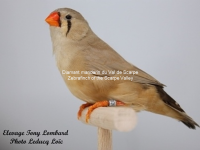 Diamant mandarin femelle brune