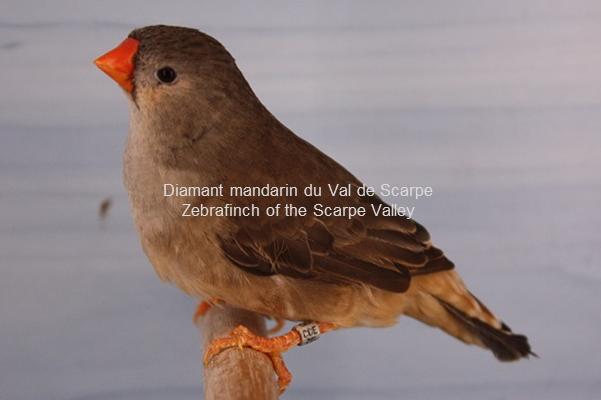Diamant mandarin femelle gris poitrine orange poitrine noire