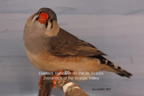 Diamant mandarin femelle gris poitrine orange poitrine noire1
