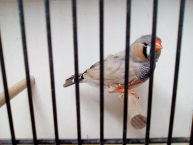 Diamant mandarin gris dos pale 1