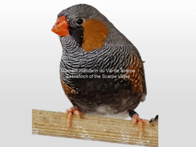 Diamant mandarin male black face