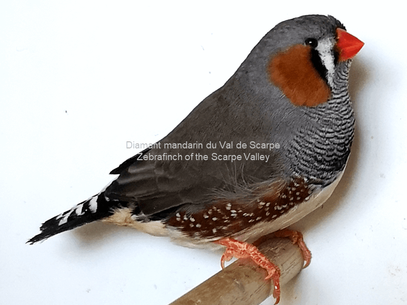 Diamant mandarin male gris 1
