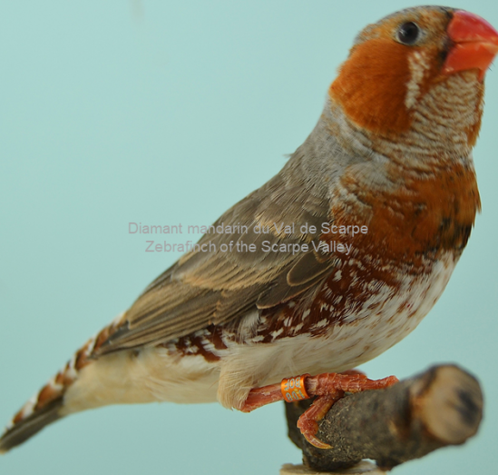 Diamant mandarin male poitrine orange
