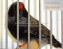 What is the combination of mutations of this zebra finch ?