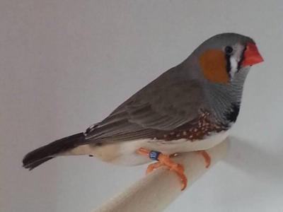 Male gris 3