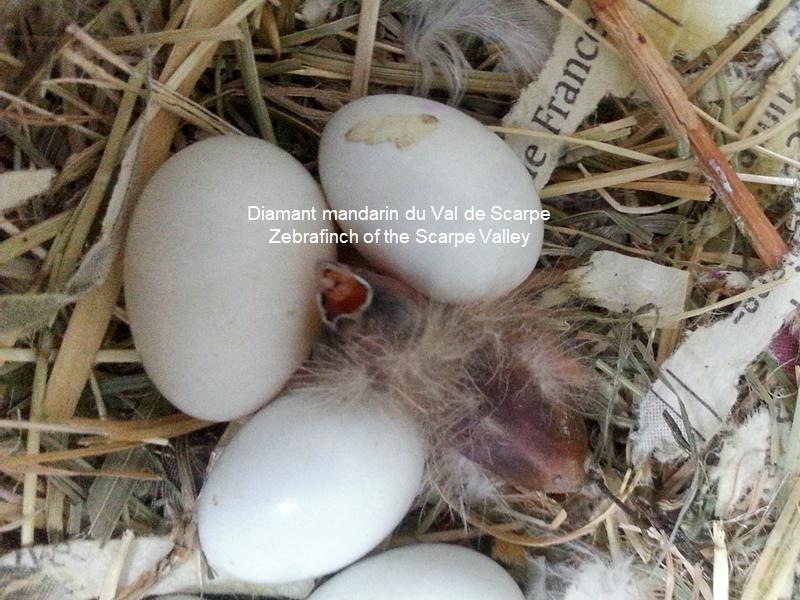 Oissilon au nid 1